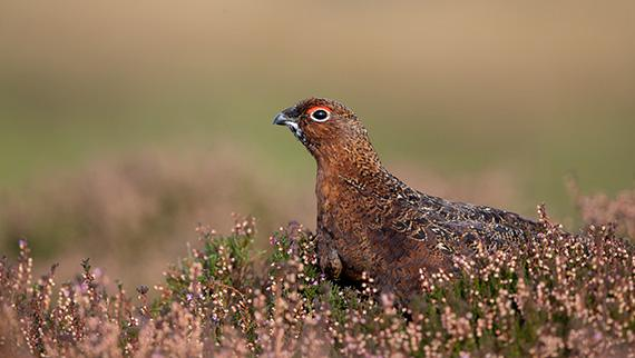 Ballogie estate field sports grouse shooting